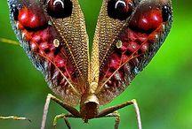 Tavusluşu Çekirgesi (Peacock Grasshopper)