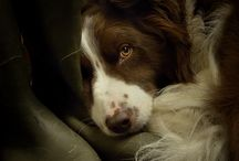 Border Collie Signs and Pictures / Warning and Caution Border Collie Signs. https://www.signswithanattitude.com/border-collie-signs.html