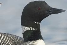 loons / by Donna 'Wolf' Raymond