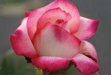 Roses I just love Roses / by Julianne Bingham