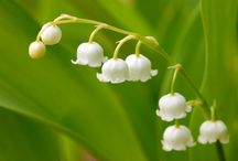 "Lily of the Valley / Anything and everything ""Lily of the Valley."" ""Sweetest of the flowers a-blooming In the fragrant vernal days Is the lily of the valley With its soft, retiring ways.""  ~ Paul Laurence Dunbar ~"