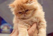 Persiske katter