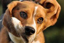 Beagle profil :)
