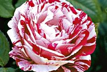 Scentimental / rose