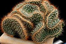 cactus crestados