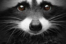 Raccoon : Creative, Ressourceful & Fun