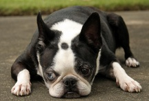 Boston terriers / by Rosemary Carpenter