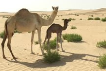 Luxury Desert Safari in Abu Dhabi / Desert Safari Unforgettable Experience.