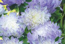 krizantémok ,/ chrysanthemums