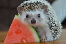 hedghogs