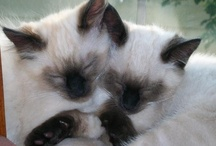 Siamese Cats / In honor of my delightful Siamese, Gremlin, here is a collection of Siamese Cats ;-)