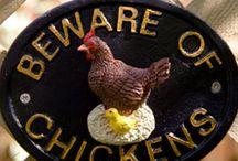 Chickens / Backyard chickens