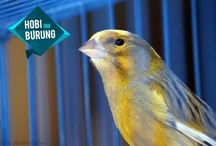 Burung Kenari / Canary