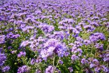Сидераты / Растения сидераты (зелёные удобрения) — растения для улучшения почвы, обогащения азотом и угнетения роста сорняков.
