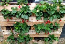 jahody+ zahrada
