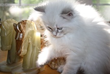 Siberian Cats & Kittens of Cartier Siberians / Hypo-allergenic kittens and cats.