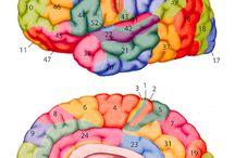 Areas del cerebro