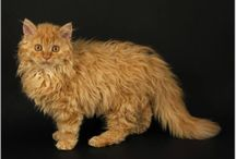 La Perm Cats - Want One!