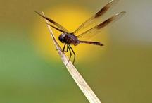 Dragonflies / by Nancy Eaton