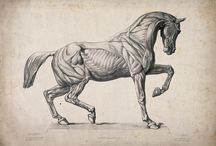 horse proportion
