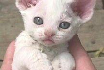 Devon Rex kitty cats