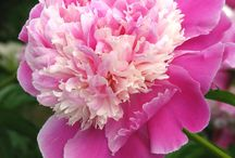 Peonies / by Leslie Young