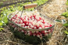 Planter des radis