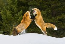 =:> Fox Fight