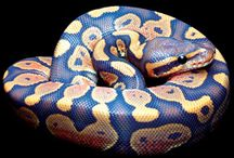 Ball Pythons / Div Morphs