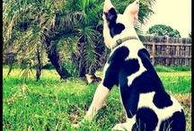 Boston Terrier / by Jenna Albani