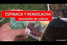 Cultivo de Espinaca y Remolacha / La remolacha y la espinaca son 2 cultivos que se pueden asociar con el brocoli.