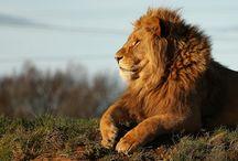 tigres/leones