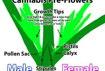 Cannabis Gender - Male & Female Plants / Learn about the two cannabis plant genders, and learn how to identify your gender as soon as possible, as early as 3-4 weeks from seed! / by Nebula Haze