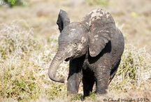 Elephant craze