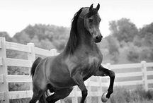 Arabští koně