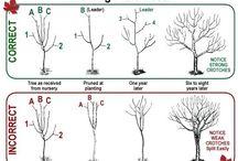 формирование крон фр. деревьев