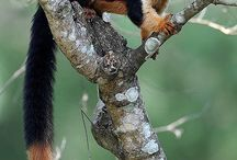 Mammal – Indian Giant Squirrel