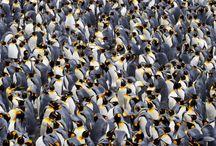 Pingwin 4.0.