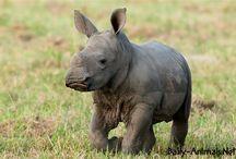 Baby rhino / Baby rhino pictures