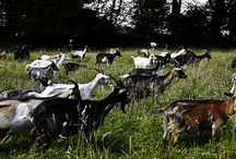 """Elevage de """"chèvres des fossés"""""""