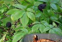 Siberian Ginseng Benefits