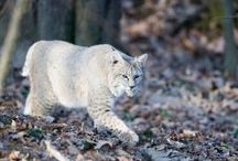 Missouri Mammals / by Missouri Conservation