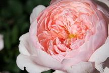 Roses / Beautiful roses