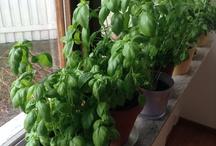 Vår fönsterkryddodling / I väntan på varmare väder odlar vi kryddor i kruka.