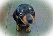 Fifi / my baby doxie... / by Cha Araullo