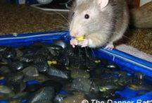 Pet rats