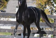 Black Arabians ~ ♥