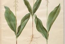 Ruscaceae