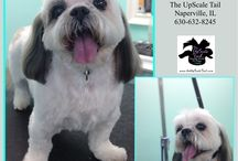 Shih Tzu Groomers at The UpScale Tail, Pet Grooming Salon, Naperville