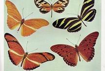 atlas motýlů / staré obrázky v atlasech